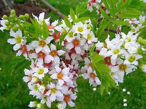 Xanthoceras sorbifolium –Ксантоцерас рябинолистный. Интересные факты, или орех, который вы не знали!