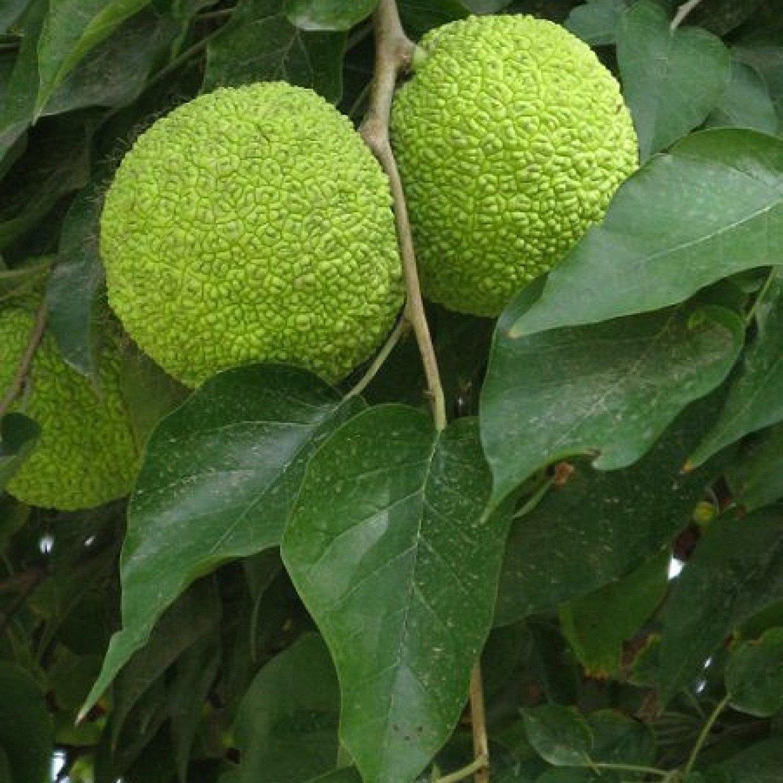 адамово дерево фото комнатное растение появления