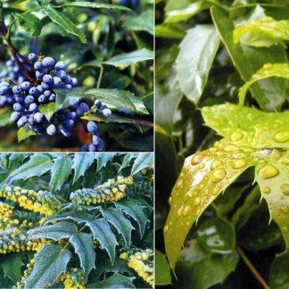 Магонія падуболиста  Mahonia aquifolium