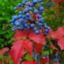 Mahonia-aquifolium-2