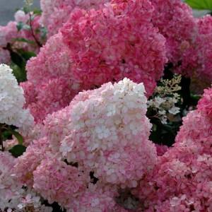 hydrangea_paniculata_sundae_fraise