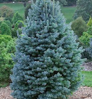 Пихта одноцветная голубая  Калифорнийская Глаука Abies concolor Glauca  Цена за 100 шт.