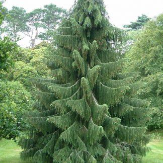 Новинка 2019г.Ель Смита Picea smithiana