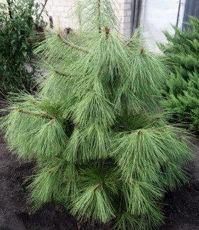 Сосна желтая pinus ponderosa L.