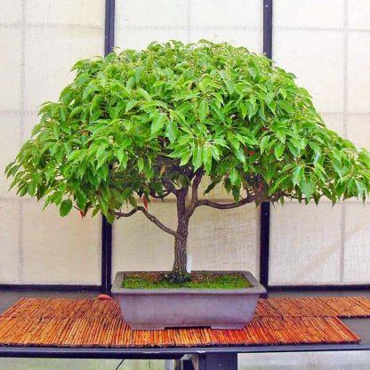 Камфорное дерево Cinnamomum Camphora