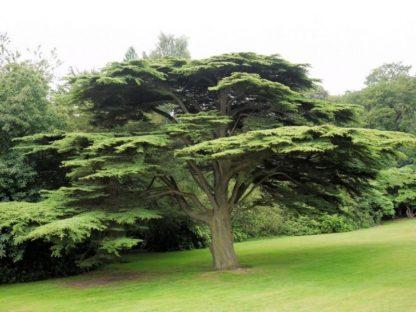 Кедр ливанский Lebanon Cedar