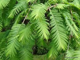 Метасеквойя глиптостробусовая   Metasequoia glyptostroboides