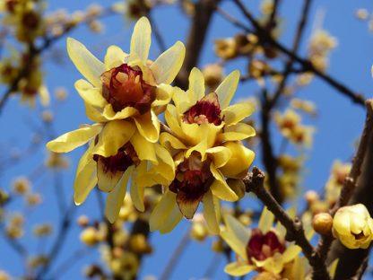Химонант скороспілий  Chimonanthus praecox