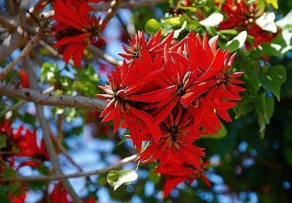 Эритрина индийская (коралловое дерево) Erythrina indica