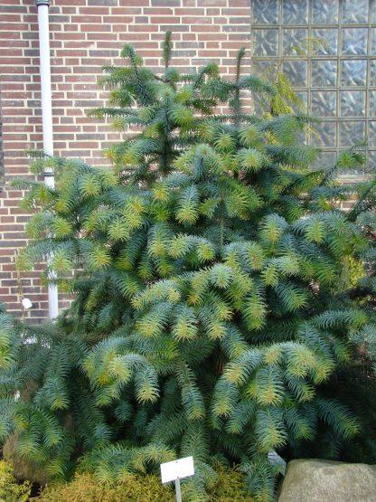 Кунингамия ланцетовидная Сunninghamia lanceolata