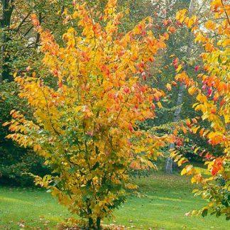 Железное дерево Парротия персидская Parrotia persica