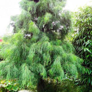 Таксодиум двурядный Taxodium distichum