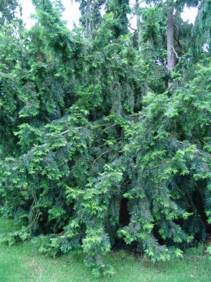 NEW! Торрея крупная Torreya grandis