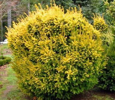 Тис ягодный жёлтый Элегантиссима Taxus baccata Elegantissima Цена за 10 саженцев.