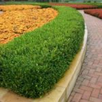 Buxus_sempervirens_Suffruticosa_English_Boxwood_grande