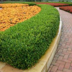 Самшит вічнозелений Суффрутікоза Buxus sempervirens Suffruticosa