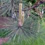 Pinus-nigra-Arnold-Sentinel