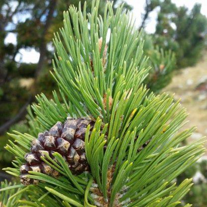 Сосна гачкувата  Pinus uncinata