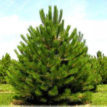 Сосна чорна Pinus nigra