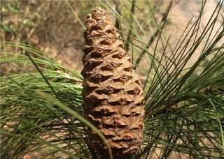 Pinus_squamata