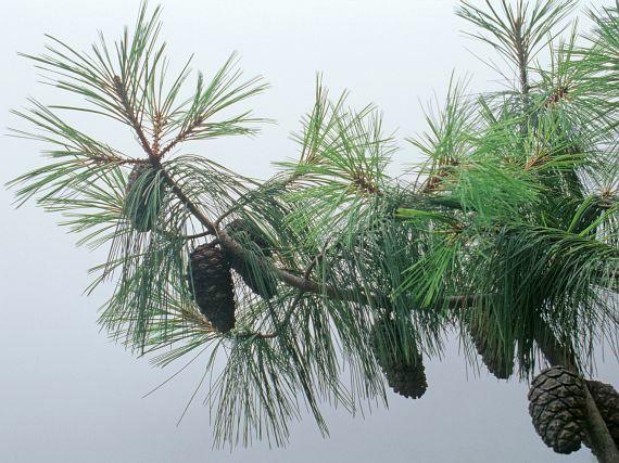 Pinus squamata — самая редкая и дорогая сосна в мире по цене 20 дол. за семечко!
