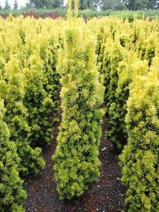 Тис Фастигиата Ауреа Taxus baccata Fastigiata Aurea Цена за 10 саженцев