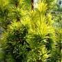 taxus-baccata-fastigiata-aurea-conifer-p432-762_medium