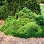 thuja-occidentalis-umbracul-598x400