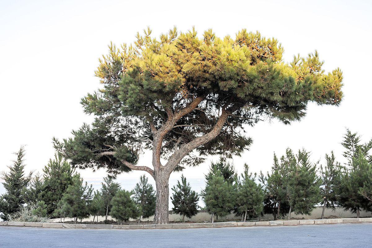 Гость из Азербайджана — Сосна эльдарская pinus eldarica