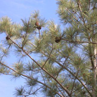 Сосна Торрея  Pinus torreyana