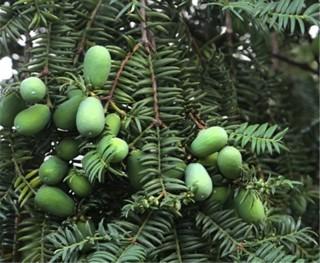 Comprar-Real-Torreya-Grandis-Merrillii-rbol-Semente-12-piezas-planta-chino-Taxaceae-crecer-rbol-de-nuez