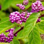 Callicarpa-bodinieri-Profusion-Profusion Beautyberry