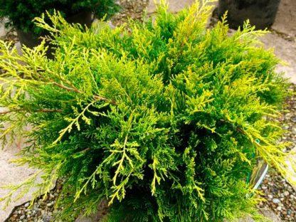 НОВИНКА 2019г. Можжевельник средний или пфитцериана Мордиган Голд  Juniperus x media Mordigan Gold цена за 10 шт