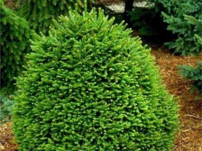 """Ялина подушковидна """"Олендорффі"""" Picea abies 'Ohlendorffii' Ціна вказана за 10 саджанців"""