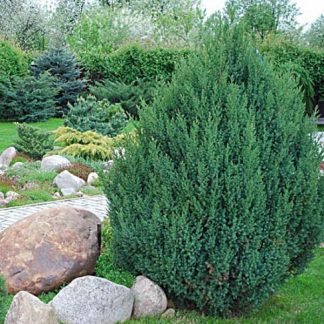 Можжевельник китайский Стрикта Juniperus chinensis Stricta цена за 10 шт