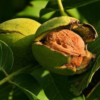 Грецкий орех сорт Прикарпатский