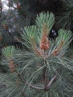 Сосна культера Культера Pinus coulteri