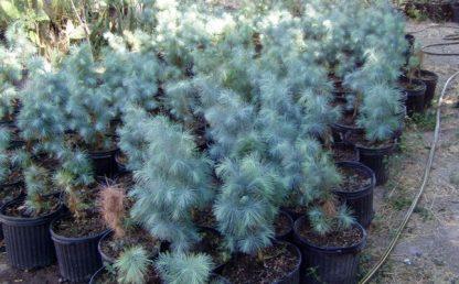 Сосна Максімартінез  Pinus Maximartinezii