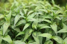 Персикария Вьетнамский кориандр Persicaria odorata 'Vietnamese Coriander