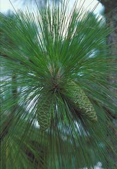 Сосна болотяна Pinus palustris