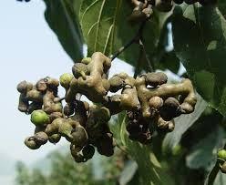 Говенія (цукеркове дерево)Hovenia dulcis
