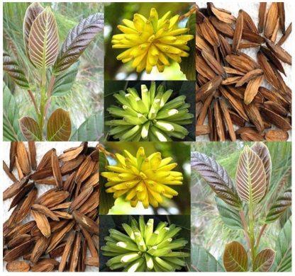 Camptotheca acuminata Камптотека остроконечная 25 грамм