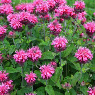 Монарда Pink Lace(Пинк Лейс) цена за 1 саженец
