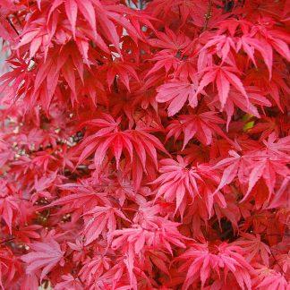Клён дланевидный краснолистый (японский) Acer palmatum