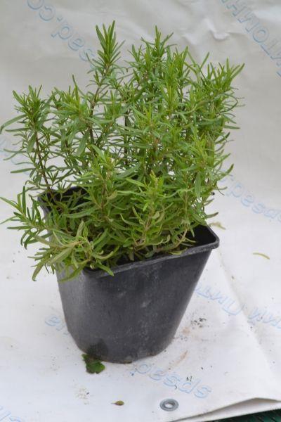 Розмарин лекарственный Спиди Rosmarinus officinalis Speedy