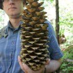 49a33400d2fc8c2b3ec6f3cb0801b171--the-sugar-pine-tree
