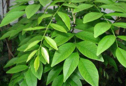 Dalbergia odorifera Дальбергия пахучая