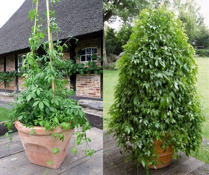 Гиностемма пятилистная Gynostemma pentaphyllum