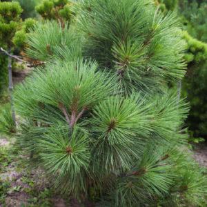 Pinus_jeffreyi