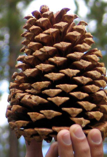 Сосна джефрі Pinus jeffreyi